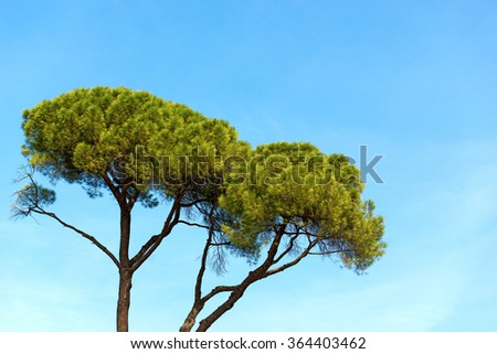 Maritime Pine on Blue Sky / Detail of maritime pine with trunk and green needles on blue clear sky #364403462