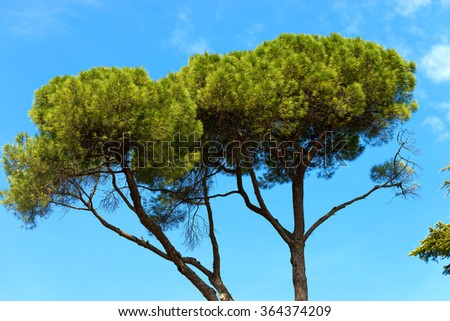 Maritime Pine on Blue Sky / Detail of maritime pine with trunk and green needles on blue sky #364374209