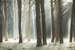 Maritime Pine tree forest and rays of light, Maremma, Tuscany, Italy.
