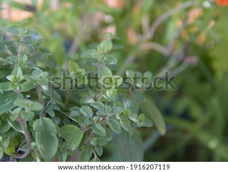 Marjoram, Origanum majorana, pot marjoram, sweet marjoram or knotted marjoram  Stock photo ©