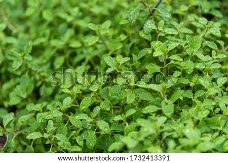 Marjoram (Origanum majorana). Seasonings and spices. Condiment used in Brazilian cuisine. Marjoram is an herb with sweet flavors of pine and citrus, aromatic leaves, green or dry, for culinary use Stock photo ©