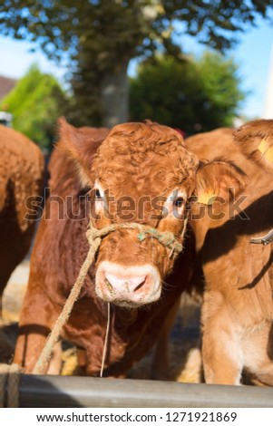 Market in French Limousin with brown Limousine cows #1271921869