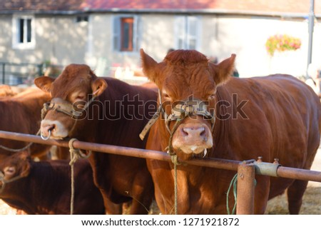 Market in French Limousin with brown Limousine cows #1271921872