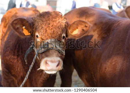 Market in French Limousin with brown Limousine cows #1290406504