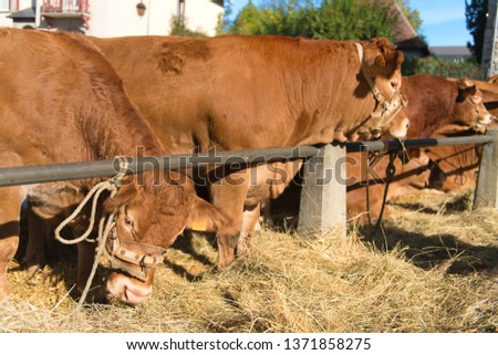 Market in French Limousin with brown Limousine cows #1371858275