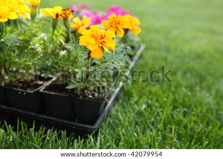 Market Pack of Marigolds and Impatiens waiting to be planted - stock photo