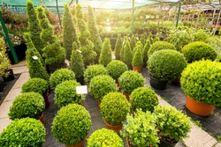marketplace with boxwood shaped on  flowerpots of a round shape and high with solar light in the background a sale of flowers, nobody.