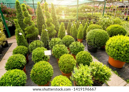 marketplace with boxwood shaped on  flowerpots of a round shape and high with solar light in the background a sale of flowers, nobody. #1419196667