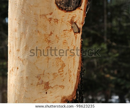 Marks and scrapes on tree trunk caused by gnawing of porcupine with incisor teeth