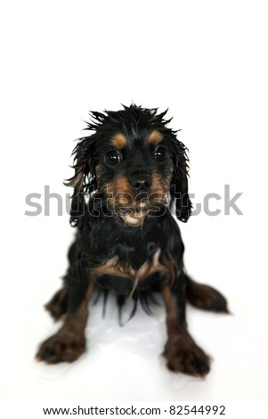 Marmaduke the black and tan Cavalier King Charles spaniel puppy gets a bath