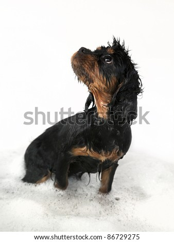 Marmaduke the black and tan King Charles Cavalier puppy takes a bath.
