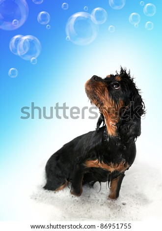 Marmaduke the black and tan King Charles Cavalier puppy takes a bath. Floating bubble background with space for your text.