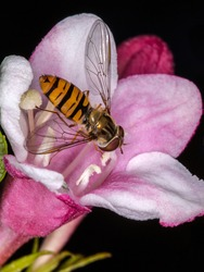 Marmalade hover fly, Episyrphus balteatus, marmalade hover fly gathering nectar from a pink blossom, dark background, selective focus