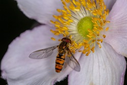 Marmalade hoverfly collects pollen on anemone flower macro photography. Episyrphus balteaus insect on the flower garden photography.