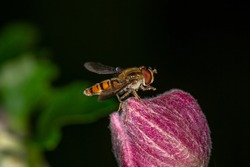 Marmalade hoverfly collects pollen on pink flower macro photography. Episyrphus balteaus insect on the red flower bud garden photography.