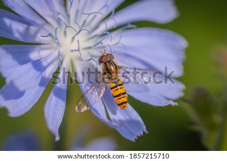Marmalade hoverfly (Episyrphus balteatus) on a bright blue flower of common chicory Stockfoto ©