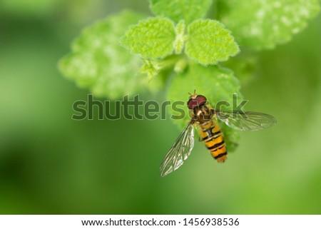 Marmalade Hoverfly (episyrphus balteatus) On Green Leaf. Stockfoto ©