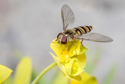 Marmalade hoverfly, Episyrphus balteatus, posed on a yellow flower