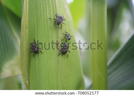Marmorated stink bug or known as Halyomorpha halys on a corn cob in the field
