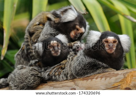 Marmoset family - A small group of marmosets with babies
