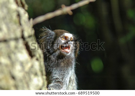 marmoset in close up with mouth open showing teeth, tongue and saliva string #689519500