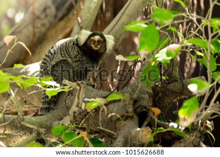 Marmoset is a highly social animal, always chirping a very loud noise to warn friends if dangers happened. So charming!!!