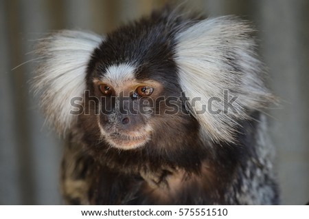 Marmoset monkey kept as a pet in South Africa