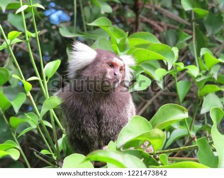 Marmoset monkeys in south america