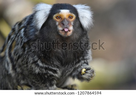 Marmoset Poking out its Tongue