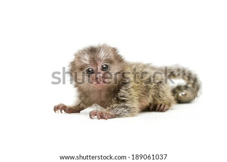 marmosets monkey