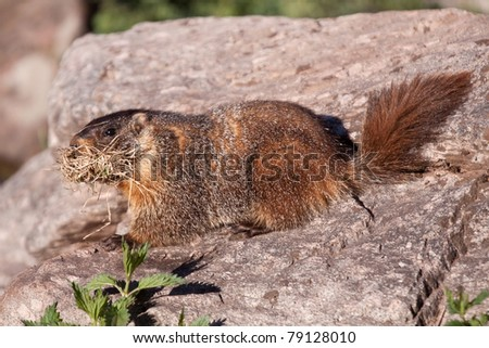Marmot - Groundhog with Mouth Full of Grass near Aspen, Colorado