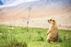 Marmot in green field in Leh Ladakh,India