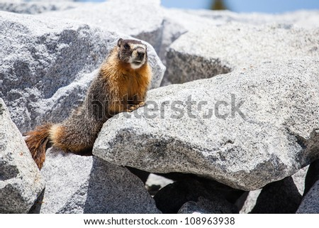 Marmot looking from stone pile