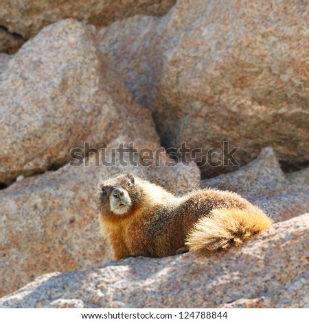 Marmot on Mount Whitney, Sierra Nevada, California, USA.