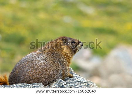 Marmot on the tundra at Mt. Evans in Colorado.