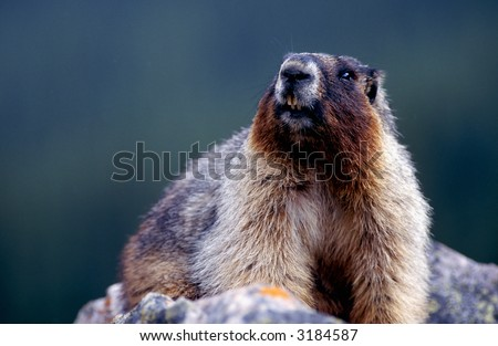 Marmot portrait at the cliff. - stock photo