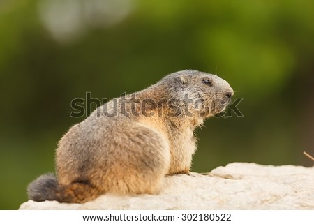 stock-photo-marmot-portrait-close-up-302