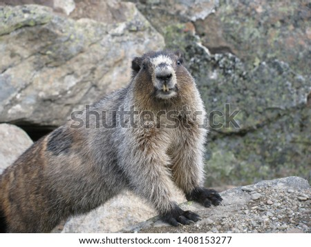 Marmot posing for his picture in the Canadian Rockies  #1408153277