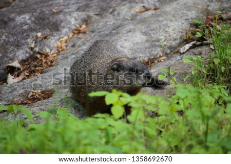 Marmot standing on a rock. Grass and clover in front, rock as background. - image
