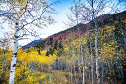 Maroon Bells area with view from famous road of vibrant yellow foliage aspen trees in foreground of Colorado rocky mountains autumn fall peak