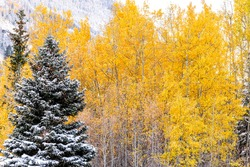 Maroon Bells mountains area with pine tree and yellow fall foliage in Aspen, Colorado closeup after winter snow frozen forest in October 2019