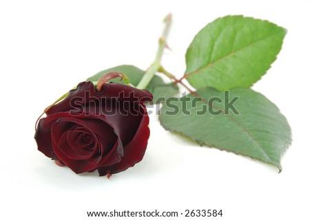 Hanakotoba (Bahasa Bunga) Stock-photo-maroon-rose-isolated-on-white-2633584