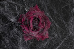 Maroon rose on a black background with cobwebs. Scary Halloween holiday.	The main object is out of focus