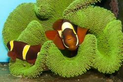 Maroon Yellow Stripe Clownfish Pair with roe