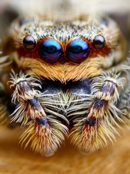 Marpissa muscosa jumping spider head closeup