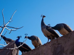 Marrakesh, Morocco - January 08. 2017. Peacocks are sitting on the fence
