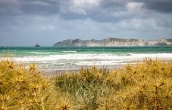 Marram grass flowers on a sand dune at a Gisborne beach facing Young Nick's Head