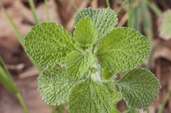 Marrubium vulgare white horehound or common horehound green leaves of this plant of intense smell and growing in uncultivated grounds brown background defocused natural light