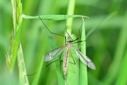 Marsh Crane Fly   -  Big Schnake   (  Tipula oleracea  )  on blade of grass in green nature with copy space