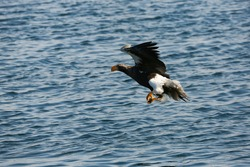 Marsh eagle in Vladivostok. The Red Book Steller's Sea Eagle flies over the edge of the blue sea.